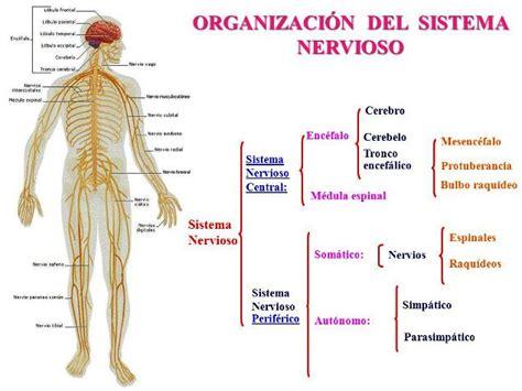 Sistema Nervioso Related Keywords   Sistema Nervioso Long ...