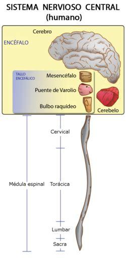 Sistema nervioso - Wikipedia, la enciclopedia libre