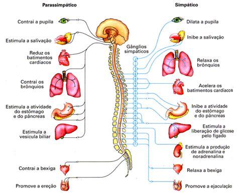 Sistema Nervoso Central E Periferico - Corpo Humano ...