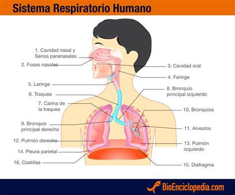 Sistema Respiratorio Humano - Información y Características