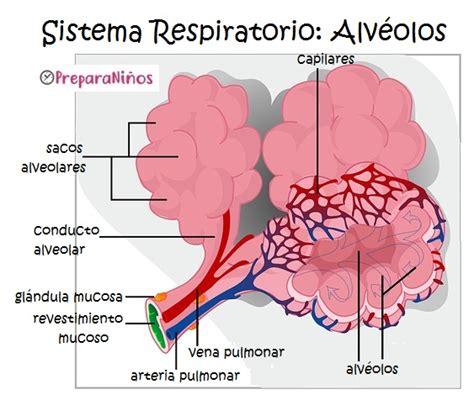 Sistema Respiratorio para Niños: Explicación para Primaria