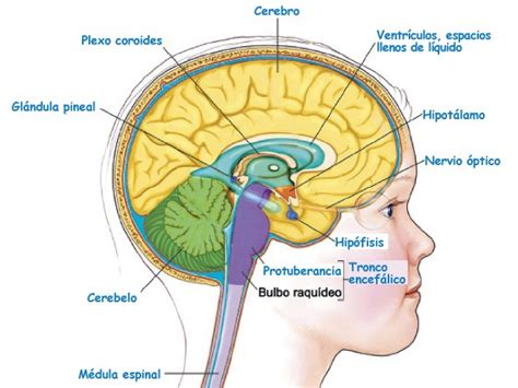 Sistemas del cuerpo humano: Sistema Nervioso | ElPopular.pe