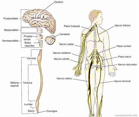 SISTEMAS NERVIOSOS CENTRAL Y PERIFERICO - Neuroanatomía