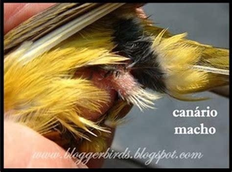 site do canario belga