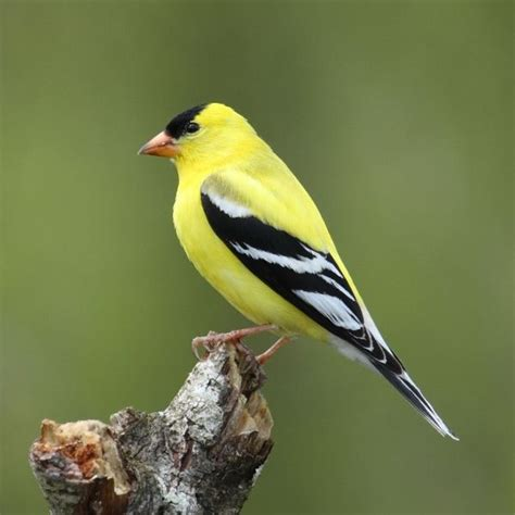 Small Yellow And Black Bird   www.pixshark.com   Images ...