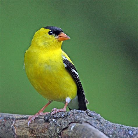 Small Yellow And Black Birds