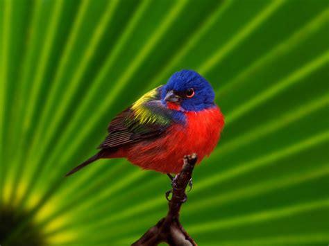 Sobre Colores: El ave más hermosa de América del Norte