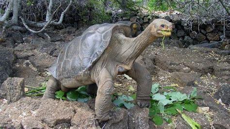 Solitario George, la última tortuga gigante de las Islas ...