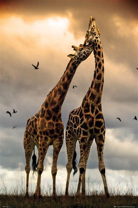 Sophie de giraf - Zeg Dieren