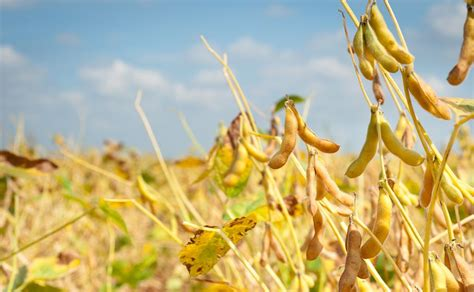 Soybeans Finish Off Daily Highs | Agrodaily