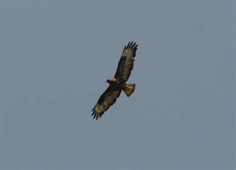 Spanish bird of prey - Identify this - Wildlife - The RSPB ...