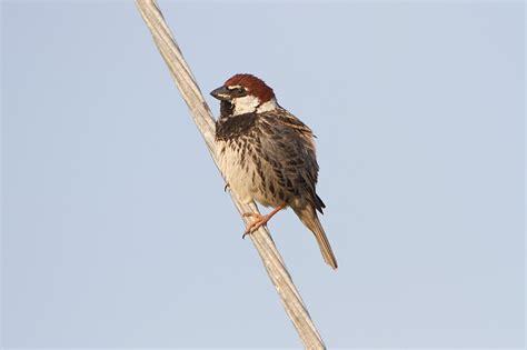 Spanish Sparrow  Passer hispaniolensis hispaniolensis ...