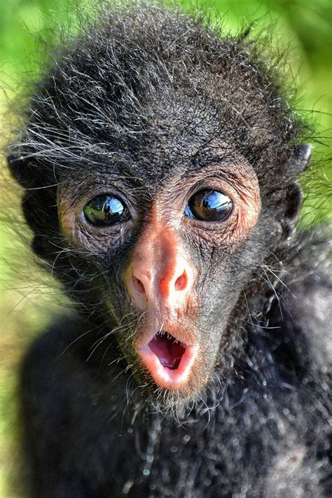 Spider Monkey Infant, Bolivian Amazon. I truly love ...