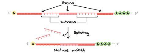 Splicing: éxons e íntrons – Rumo à Medicina
