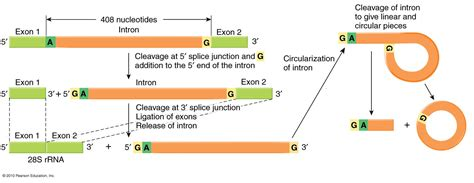 Splicing out of intron equivalents