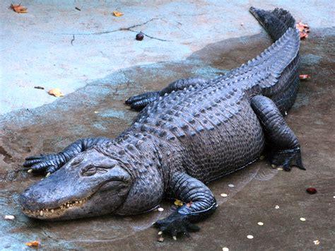 קובץ:Alligator Muja, Belgrade Zoo.jpg – ויקיפדיה