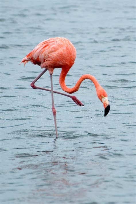 קובץ:Phoenicopterus ruber Bonaire 2.jpg – ויקיפדיה