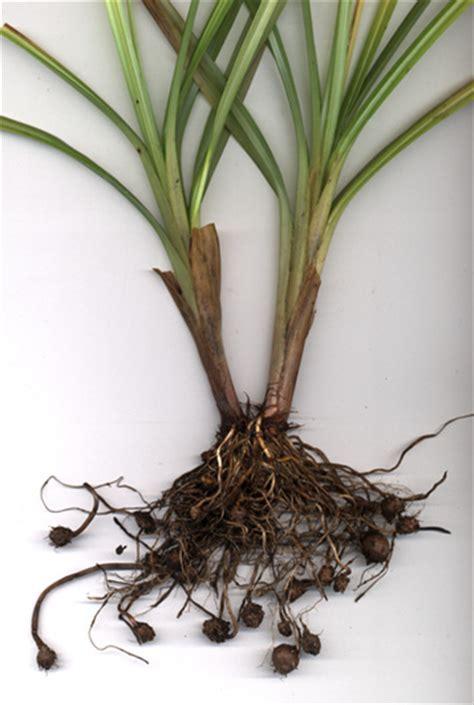 نبات السعد ....... و ....وداعا لنمو الشعر - قسم العناية ...