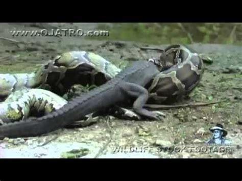 شاهد كيف يبتلع الثعبان التمساح سبحان الله - YouTube