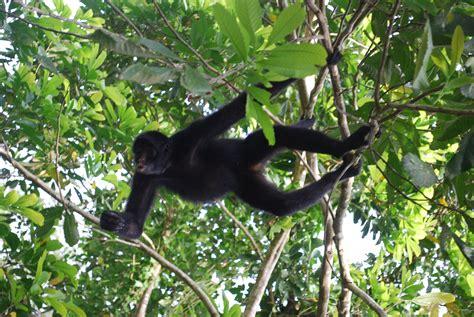 القرد العنكبوتي | المرسال