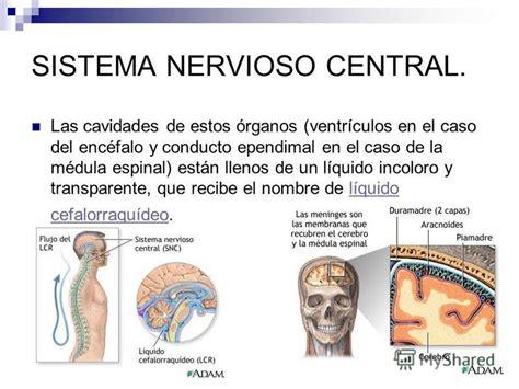 Презентация на тему:  SISTEMA NERVIOSO CENTRAL.. Las ...