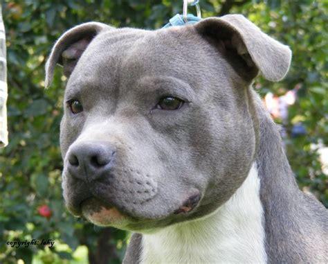 Staffordshire Bull Terrier Blue | www.imgkid.com   The ...