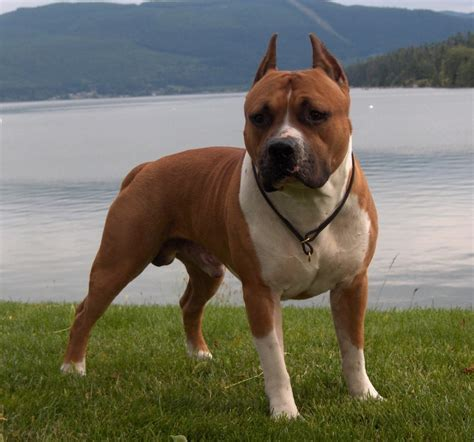 Staffordshire Bull Terrier Breed Guide   Learn about the ...