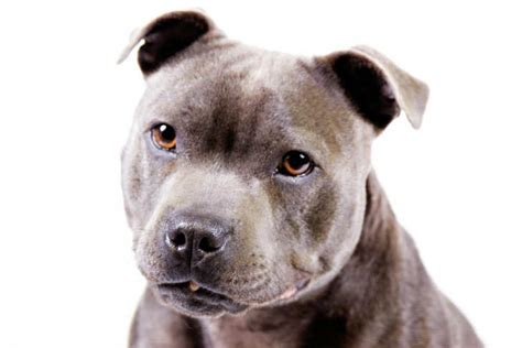Staffordshire Bull Terrier Dog Breed Information ...