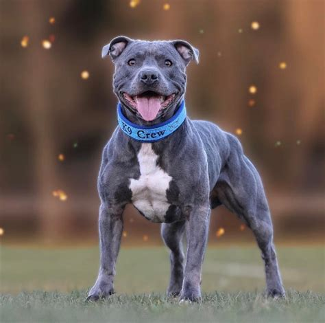 Staffordshire Bull Terrier =  Staffordshire PitBull ...
