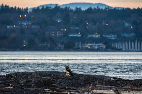 Staqeya, el lobo solitario que salta de isla en isla en la ...