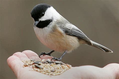 State bird improvements: Replace cardinals and robins with ...