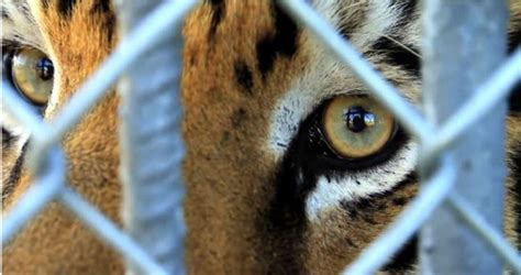 Story behind the Tony, Louisiana's famous truck stop tiger ...