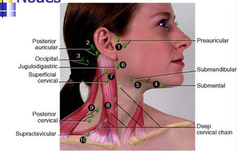 Submandibular Lymph Node Location, Submandibular, Get Free ...