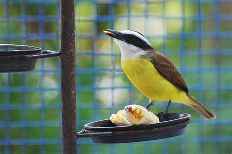 Surucuá e Tristezas do Jeca, vai vendo: Aves urbanas de ...