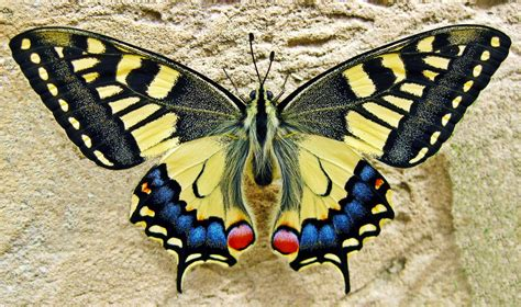 Swallowtail Butterfly Free Stock Photo - Public Domain ...