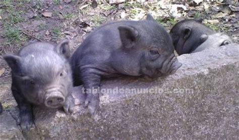 TABLÓN DE ANUNCIOS .COM   Se venden precioso cerdos ...