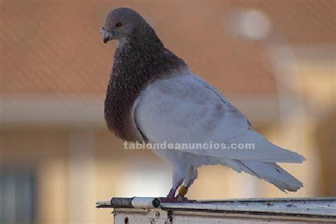 TABLÓN DE ANUNCIOS .COM   Venta de palomas de raza con ...