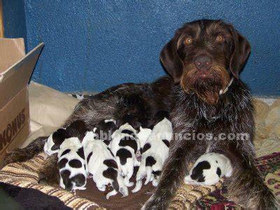 TABLÓN DE ANUNCIOS   Vendo cachorros drahthaar
