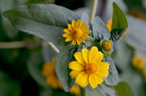 Tagetes erecta, Tagetes lucida and other Tagetes species ...