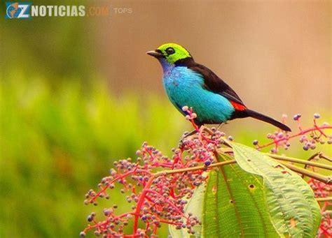tángara siete colores o tangara paraíso  Tangara chilensis ...