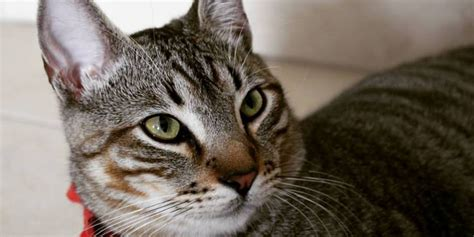 Tango, el gato que saltó de un noveno piso y logró salvarse