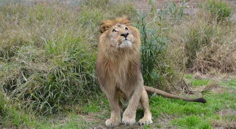 Tango , el león del Zoológico de Córdoba, espera su ...
