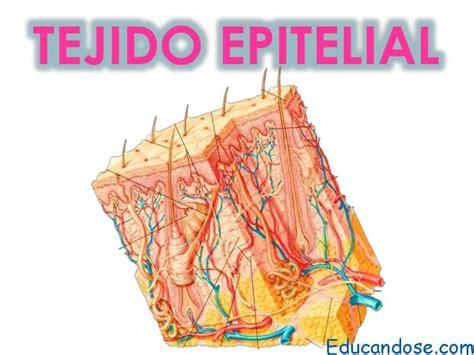 Tejido epitelial función - Educándose En Linea
