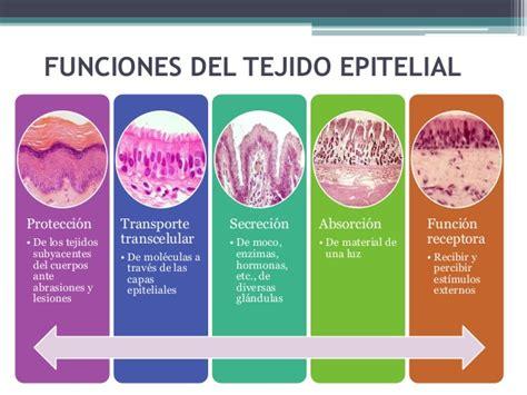 Tejidos, concepto, tejido epitelial