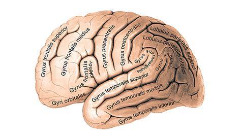 Telencéfalo/ Hemisfério Cerebral/ Neuroanatomia/ Sistema ...
