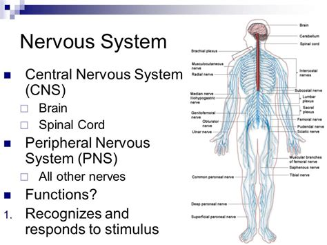 The central nervous system controls most of the functions ...