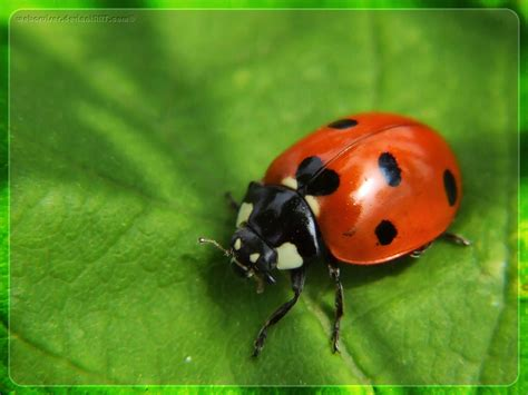 The Coccinellidae are a family of small beetles, ranging ...