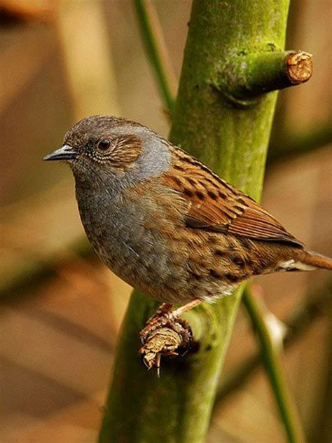 The Dunnock (Prunella modularis) is a small passerine, or ...