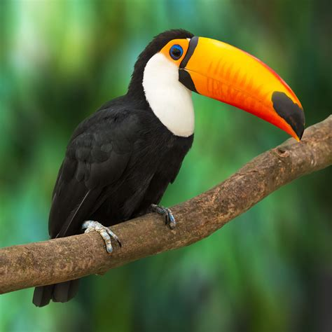 The gallery for   > Tropical Rainforest Parrots