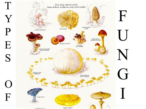 The gallery for   > Types Of Fungi